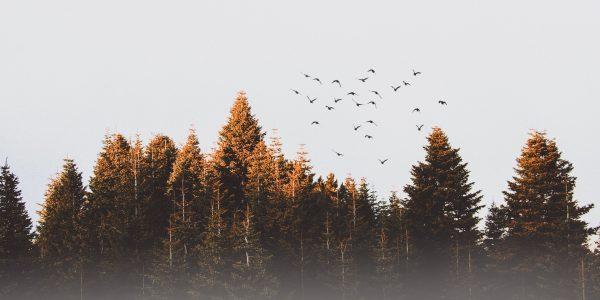 cold-conifer-dawn-917494